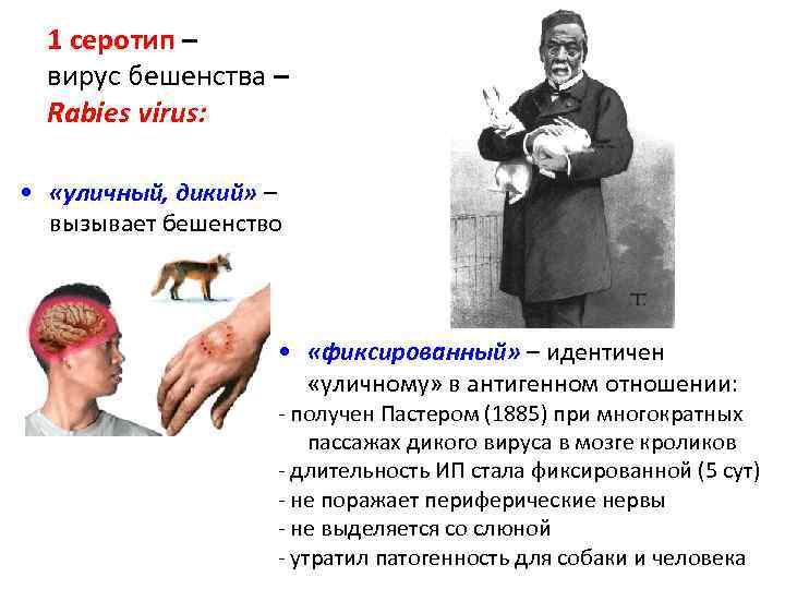 1 серотип – вирус бешенства – Rabies virus: • «уличный, дикий» – вызывает бешенство