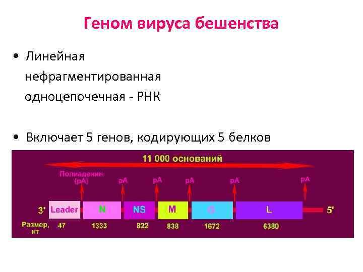 Геном вируса бешенства • Линейная нефрагментированная одноцепочечная - РНК • Включает 5 генов, кодирующих