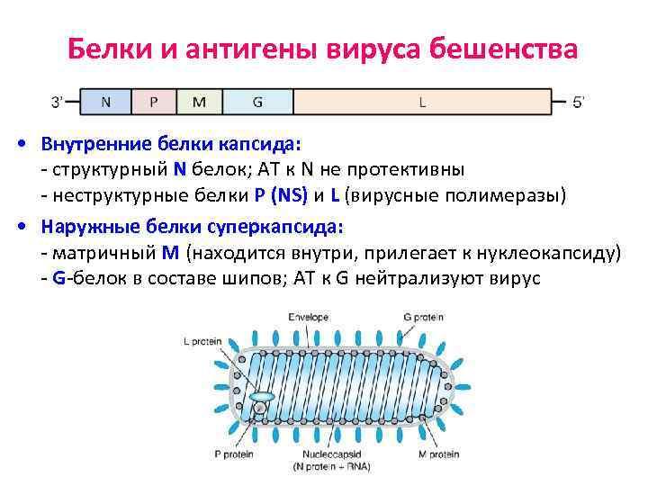 Белки и антигены вируса бешенства • Внутренние белки капсида: - структурный N белок; АТ