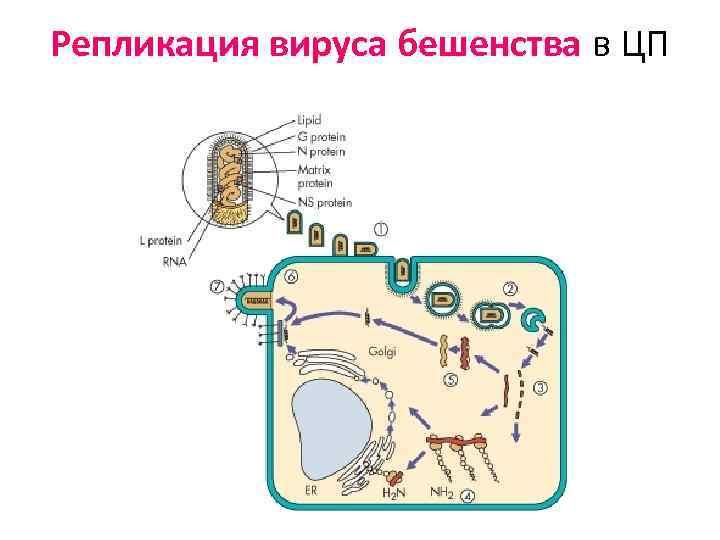 Репликация вируса бешенства в ЦП