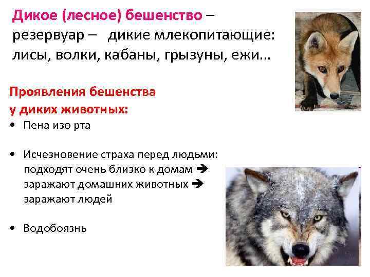 Дикое (лесное) бешенство – резервуар – дикие млекопитающие: лисы, волки, кабаны, грызуны, ежи… Проявления