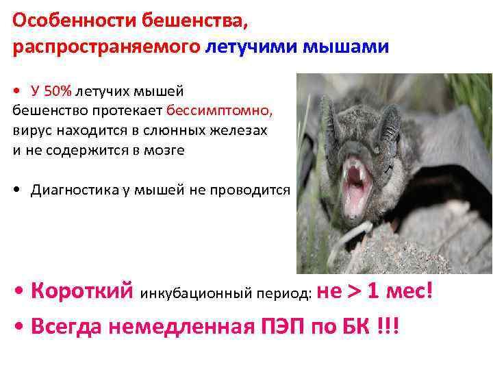 Особенности бешенства, распространяемого летучими мышами • У 50% летучих мышей бешенство протекает бессимптомно, вирус
