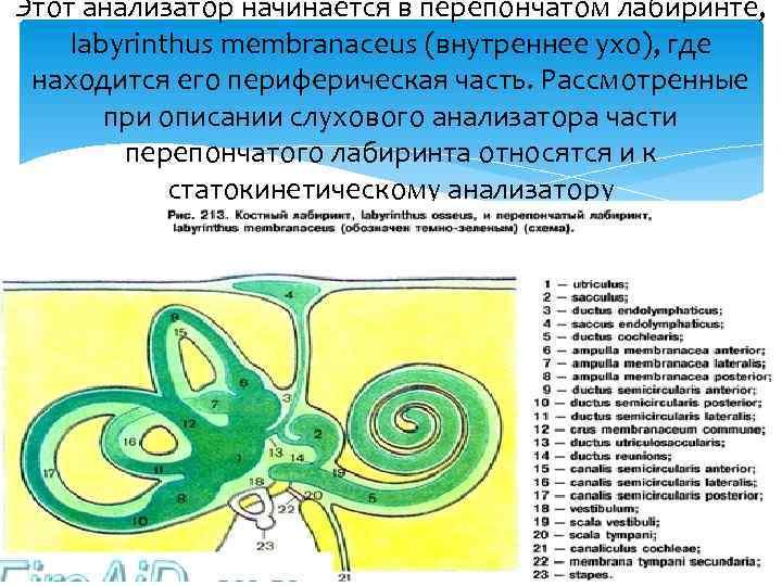 Этот анализатор начинается в перепончатом лабиринте, labyrinthus membranaceus (внутреннее ухо), где находится его периферическая