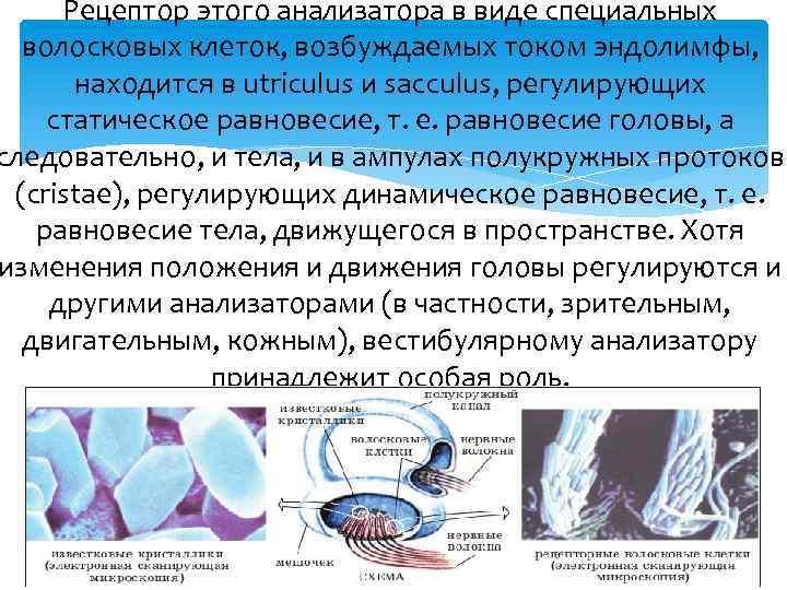 Рецептор этого анализатора в виде специальных волосковых клеток, возбуждаемых током эндолимфы, находится в utriculus