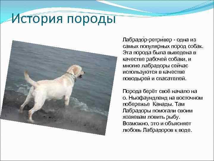 История породы Лабрадо р-ретри вер - одна из самых популярных пород собак. Эта порода