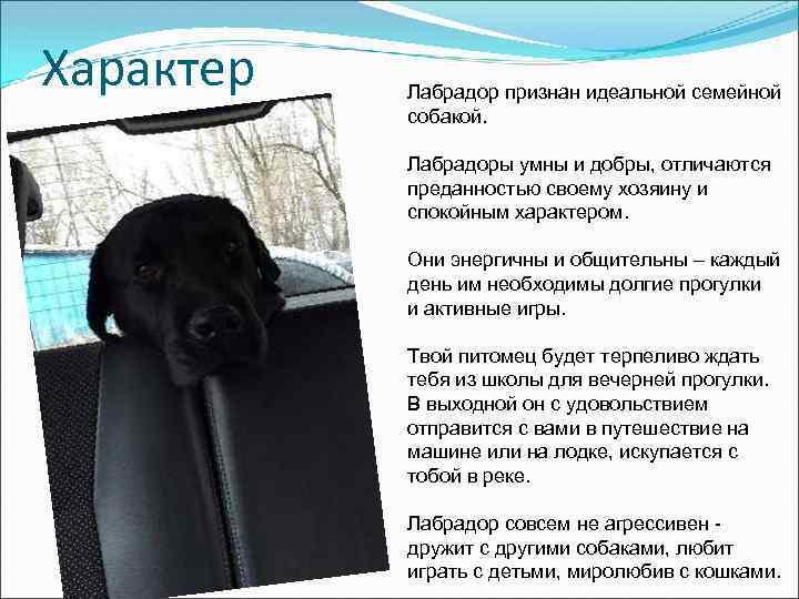 Характер Лабрадор признан идеальной семейной собакой. Лабрадоры умны и добры, отличаются преданностью своему хозяину