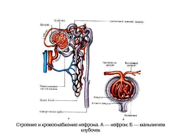 Строение и кровоснабжение нефрона. А — нефрон; Б — мальпигиев клубочек