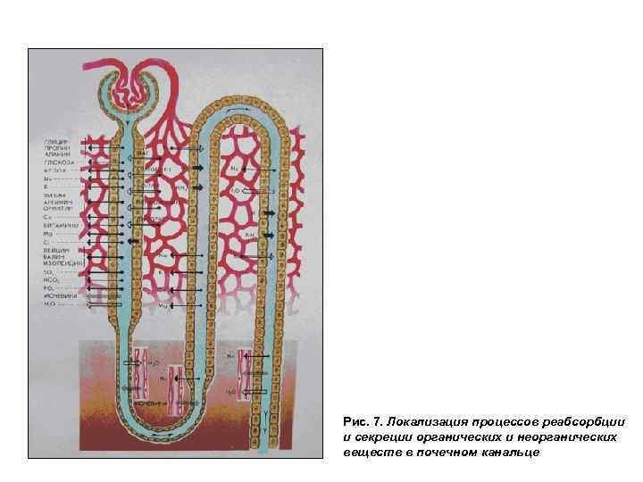 Рис. 7. Локализация процессов реабсорбции и секреции органических и неорганических веществ в почечном канальце