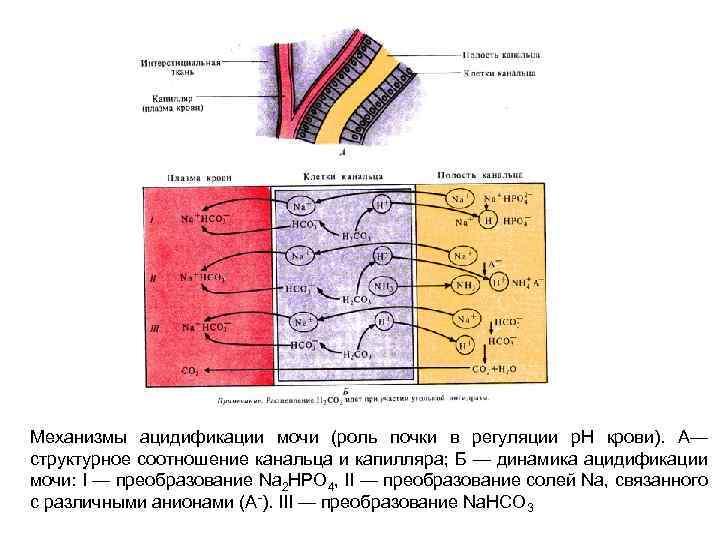 Механизмы ацидификации мочи (роль почки в регуляции р. Н крови). А— структурное соотношение канальца