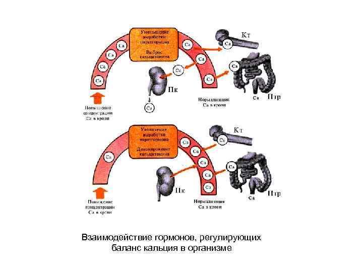 Взаимодействие гормонов, регулирующих баланс кальция в организме