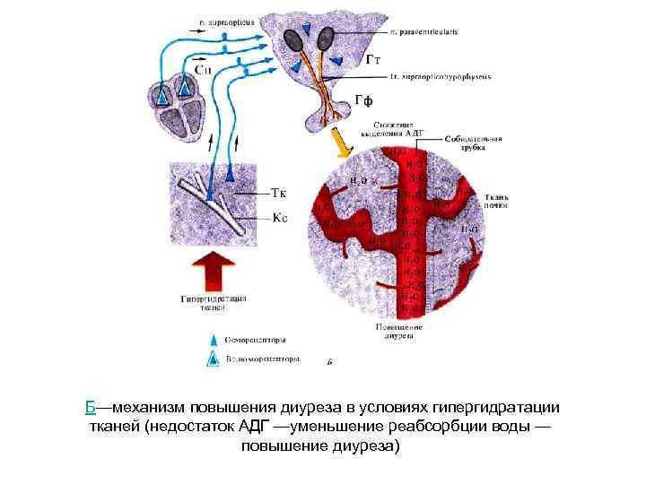 Б—механизм повышения диуреза в условиях гипергидратации тканей (недостаток АДГ —уменьшение реабсорбции воды —