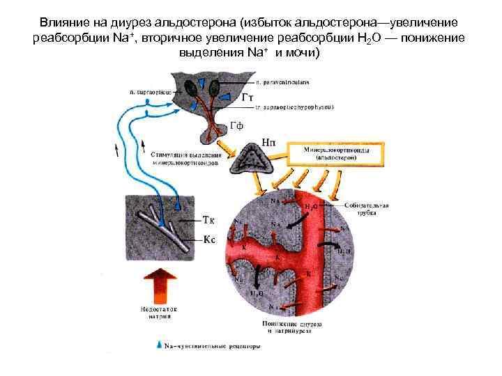 Влияние на диурез альдостерона (избыток альдостерона—увеличение реабсорбции Nа+, вторичное увеличение реабсорбции Н 2 О