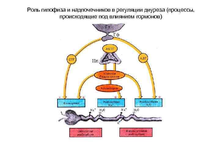 Роль гипофиза и надпочечников в регуляции диуреза (процессы, происходящие под влиянием гормонов)