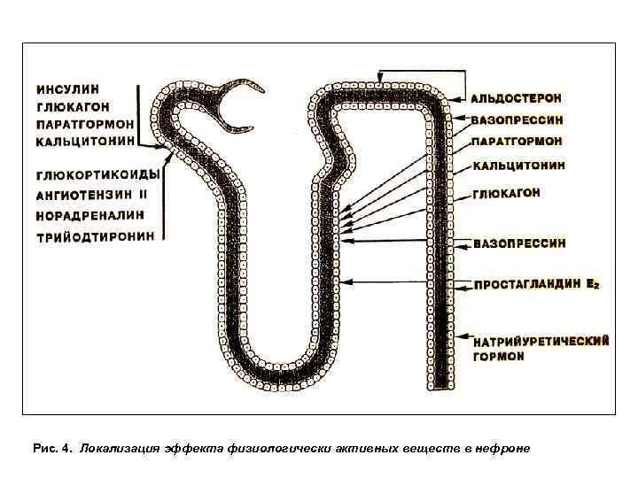 Рис. 4. Локализация эффекта физиологически активных веществ в нефроне