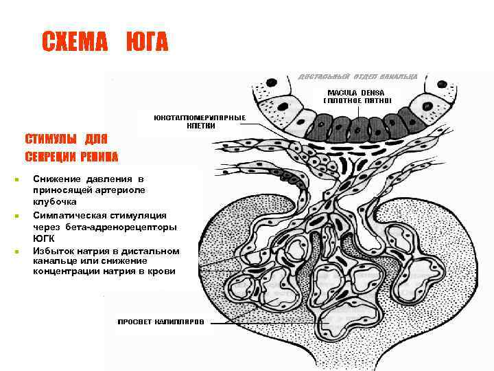СХЕМА ЮГА СТИМУЛЫ ДЛЯ СЕКРЕЦИИ РЕНИНА n n n Снижение давления в приносящей артериоле