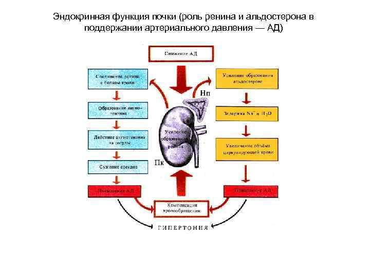 Эндокринная функция почки (роль ренина и альдостерона в поддержании артериального давления — АД)