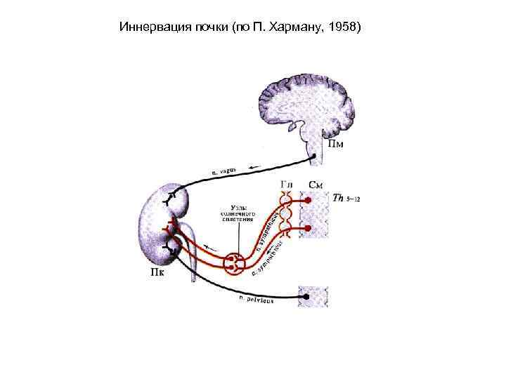 Иннервация почки (по П. Харману, 1958)