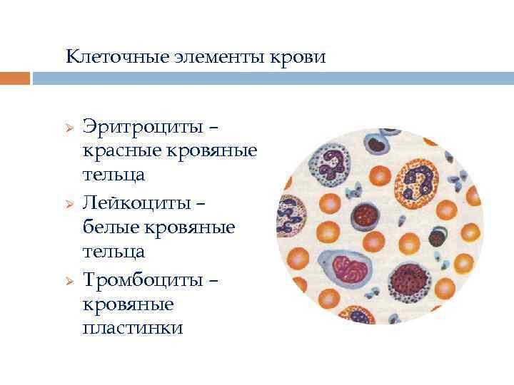 Клеточные элементы крови Ø Ø Ø Эритроциты – красные кровяные тельца Лейкоциты – белые
