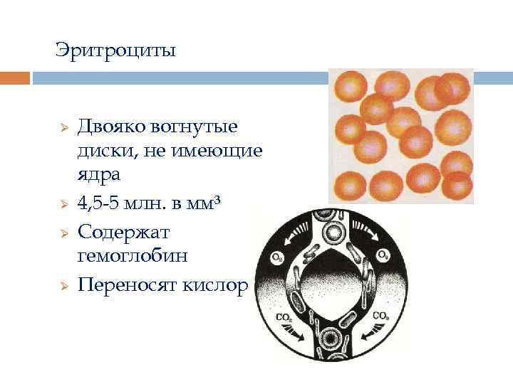 Эритроциты Ø Ø Двояко вогнутые диски, не имеющие ядра 4, 5 -5 млн. в