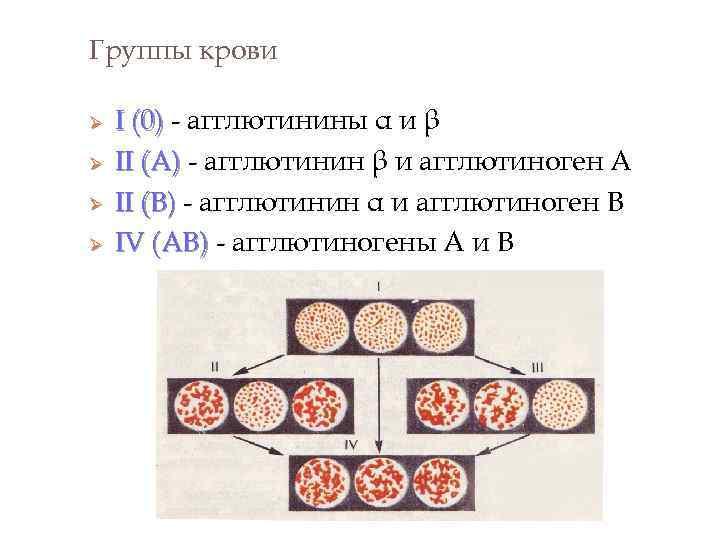 Группы крови Ø Ø I (0) - агглютинины α и β II (А) -