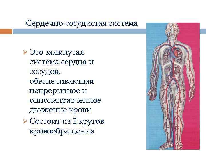 Сердечно-сосудистая система Ø Это замкнутая система сердца и сосудов, обеспечивающая непрерывное и однонаправленное движение