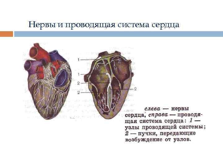 Нервы и проводящая система сердца