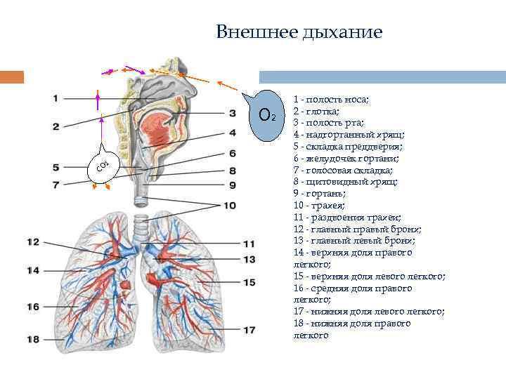 Внешнее дыхание О 2 СО 2 1 - полость носа; 2 - глотка; 3