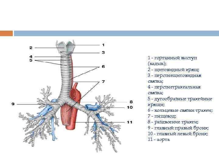 1 - гортанный выступ (кадык); 2 - щитовидный хрящ; 3 - перстнещитовидная связка; 4