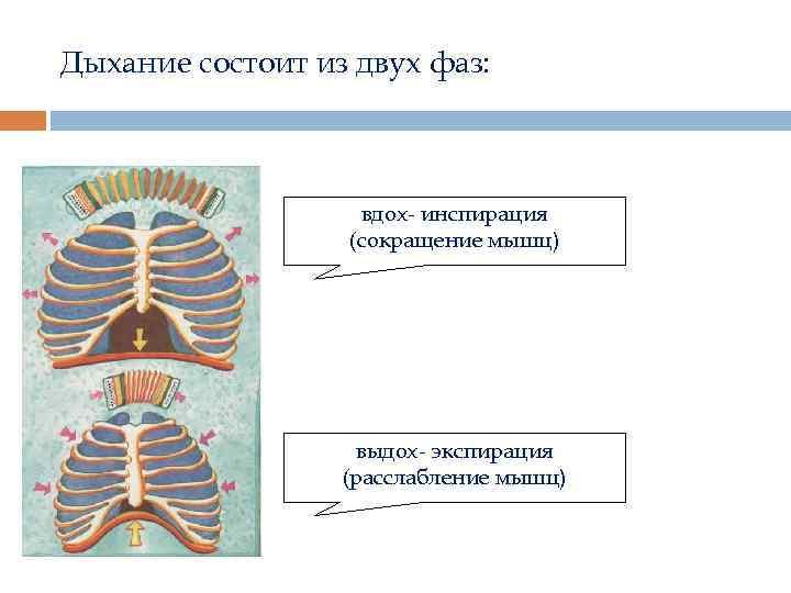 Дыхание состоит из двух фаз: вдох- инспирация (сокращение мышц) выдох- экспирация (расслабление мышц)