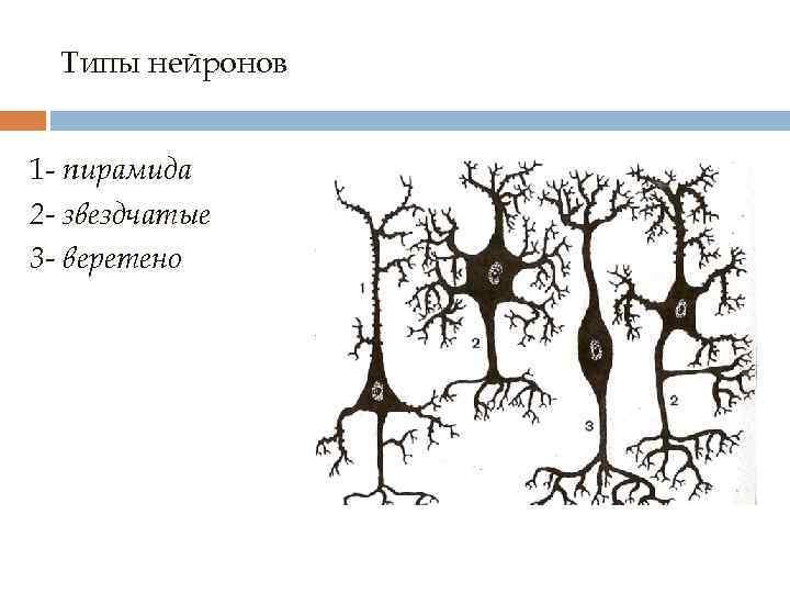 Типы нейронов 1 - пирамида 2 - звездчатые 3 - веретено