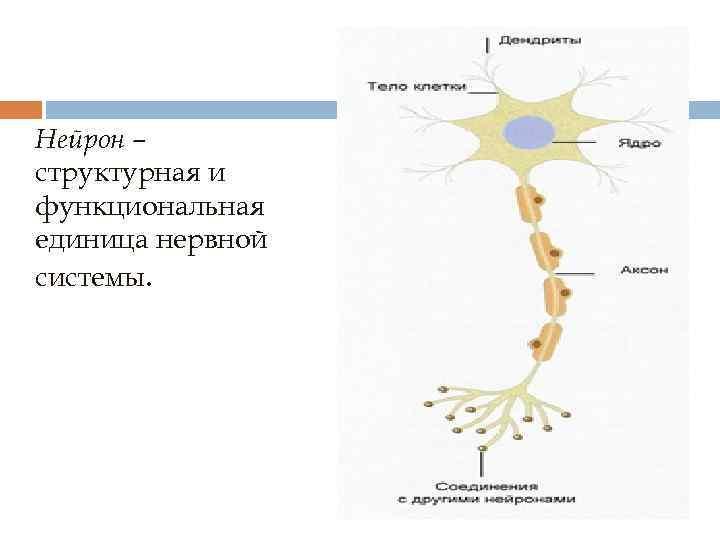 Нейрон – структурная и функциональная единица нервной системы.