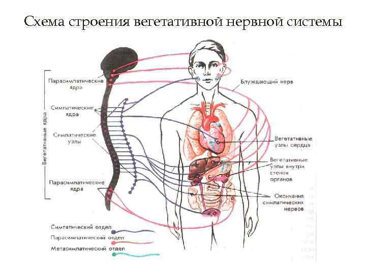 Схема строения вегетативной нервной системы