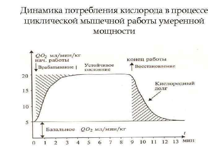 Динамика потребления кислорода в процессе циклической мышечной работы умеренной мощности
