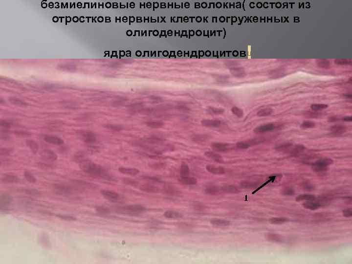 безмиелиновые нервные волокна( состоят из отростков нервных клеток погруженных в олигодендроцит) ядра олигодендроцитов 1