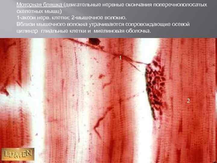 Моторная бляшка (двигательные нервные окончания поперечнополосатых скелетных мышц) 1 -аксон нерв. клетки; 2 -мышечное