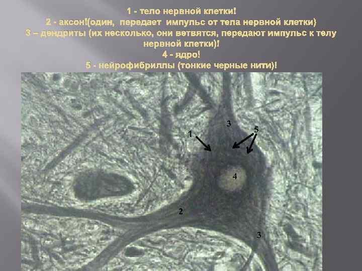 1 - тело нервной клетки 2 - аксон (один, передает импульс от тела нервной