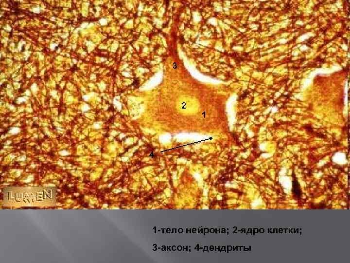 3 2 1 4 1 -тело нейрона; 2 -ядро клетки; 3 -аксон; 4 -дендриты