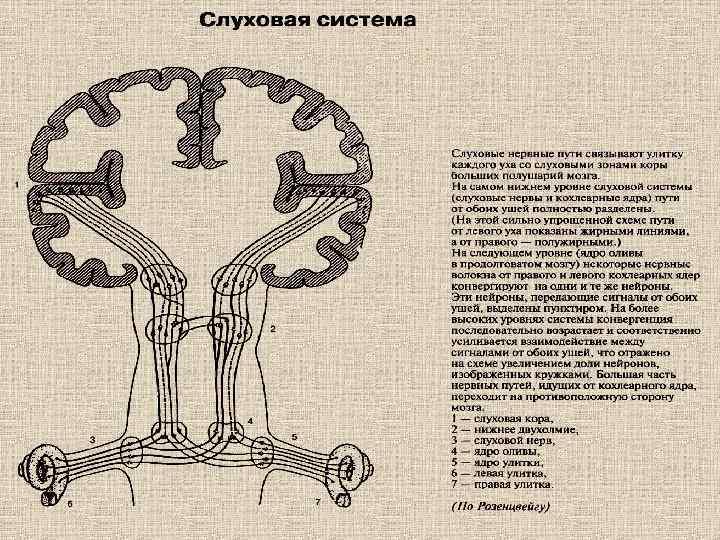 анатомия, физиология и патология органов слуха у детей шпаргалки