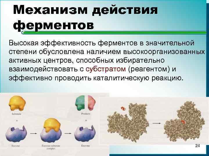 Механизм действия ферментов Высокая эффективность ферментов в значительной степени обусловлена наличием высокоорганизованных активных центров,