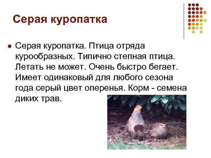 Серая куропатка l Серая куропатка. Птица отряда курообразных. Типично степная птица. Летать не может.