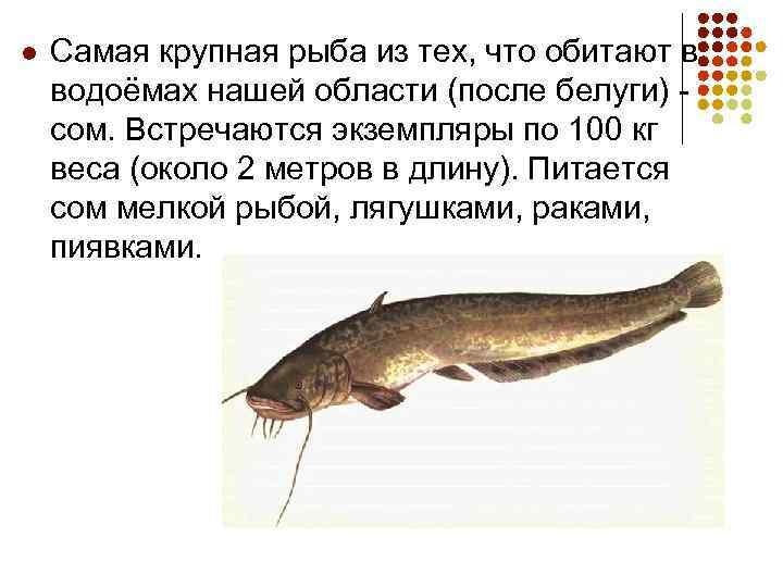 l Самая крупная рыба из тех, что обитают в водоёмах нашей области (после белуги)