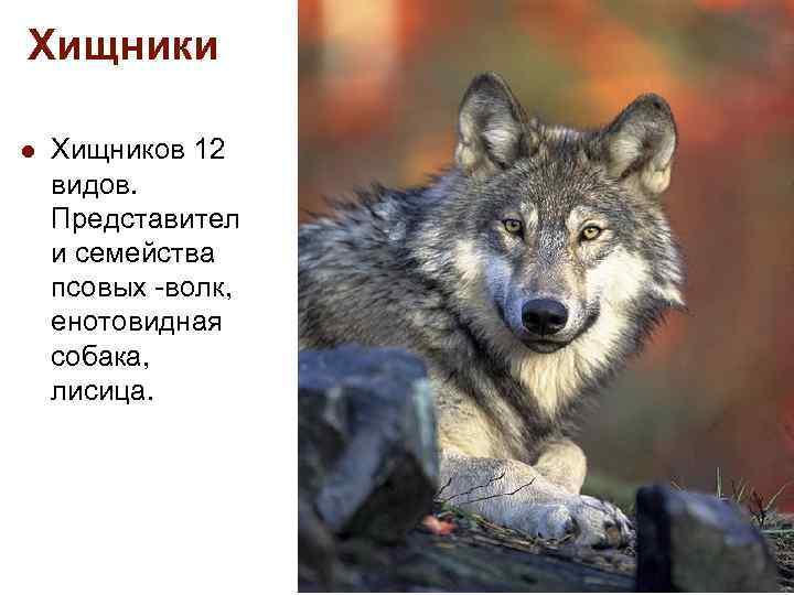 Хищники l Хищников 12 видов. Представител и семейства псовых -волк, енотовидная собака, лисица.