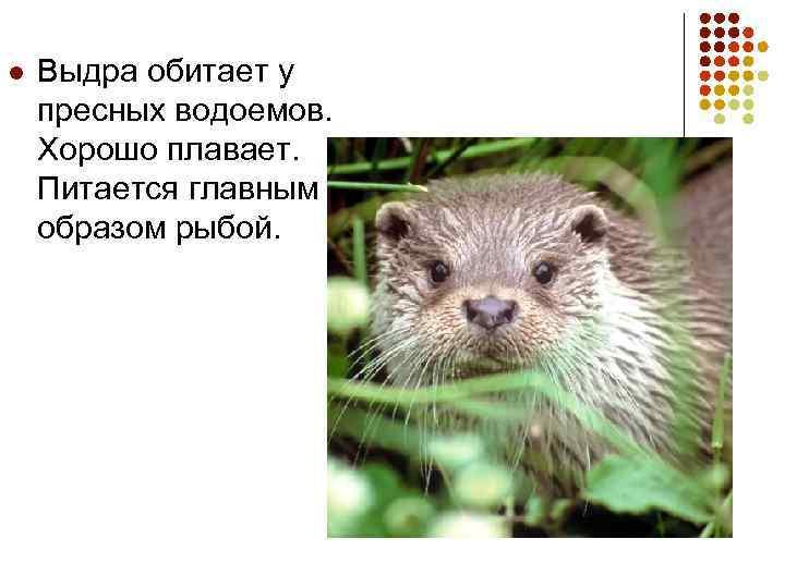 l Выдра обитает у пресных водоемов. Хорошо плавает. Питается главным образом рыбой.