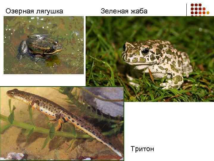 Озерная лягушка Зеленая жаба Тритон