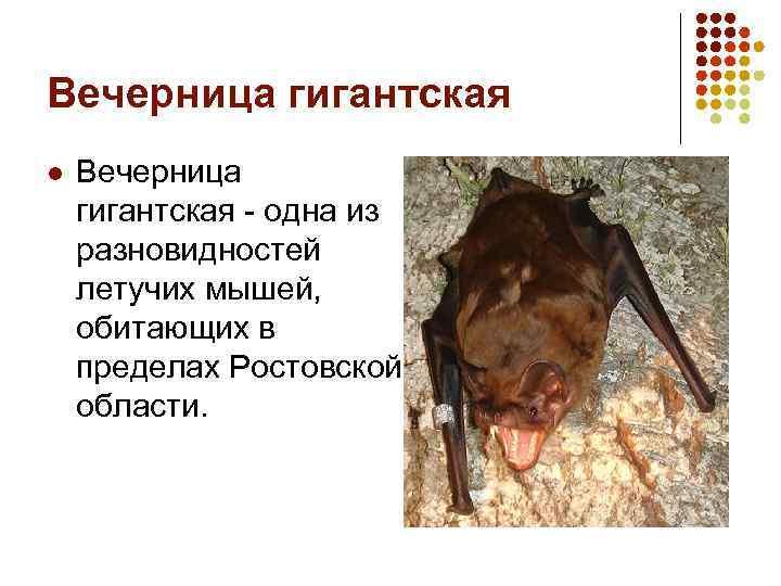 Вечерница гигантская l Вечерница гигантская - одна из разновидностей летучих мышей, обитающих в пределах