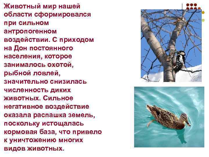 Животный мир нашей области сформировался при сильном антропогенном воздействии. С приходом на Дон постоянного