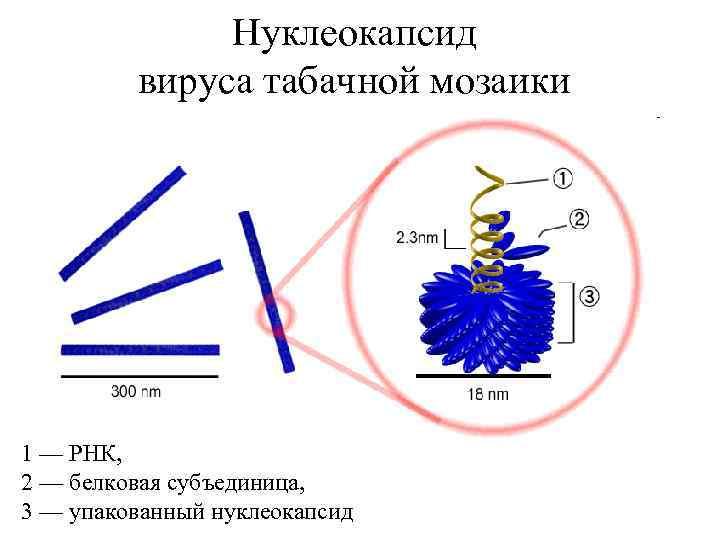 Нуклеокапсид вируса табачной мозаики 1 — РНК, 2 — белковая субъединица, 3 — упакованный