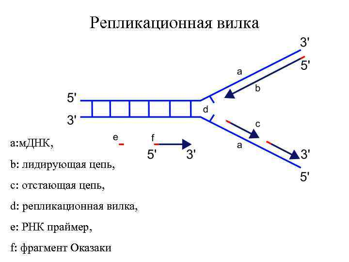 Репликационная вилка a: м. ДНК, b: лидирующая цепь, c: отстающая цепь, d: репликационная вилка,