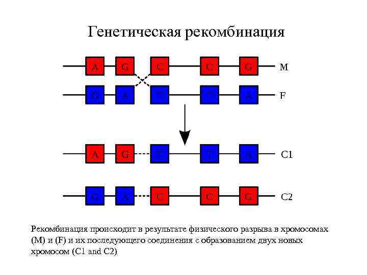 Генетическая рекомбинация Рекомбинация происходит в результате физического разрыва в хромосомах (М) и (F) и