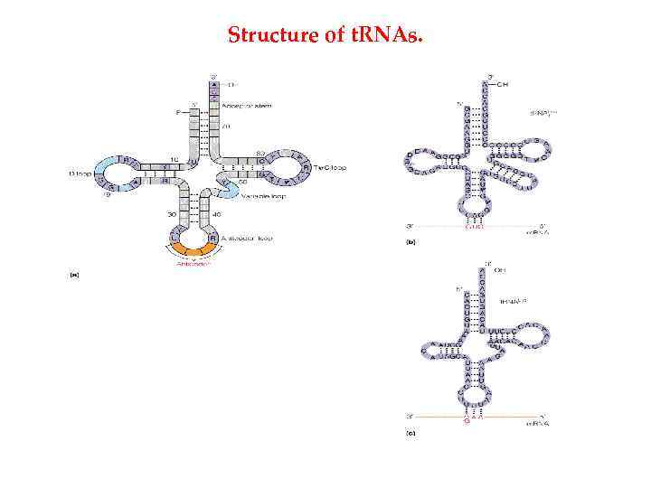 Structure of t. RNAs.